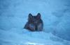 Canis_lupus_in_snow_5